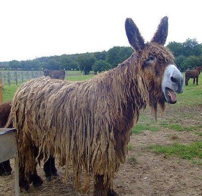 baudet-donkey