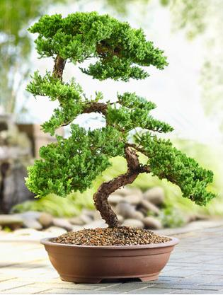 Karate Kid Bonsai Tree Logo Bonsai Tree
